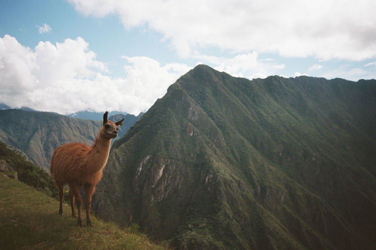 Lama Standing On Field Against Mountains And Valley