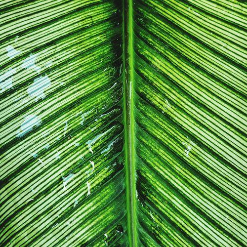 Green leaf background Foliage Frond Leaf Backgrounds Full Frame Lush - Description Close-up Grass Green Color Natural Pattern Plant Life Botany In Bloom Blossom Leaf Vein Dew Focus Petal Botanical