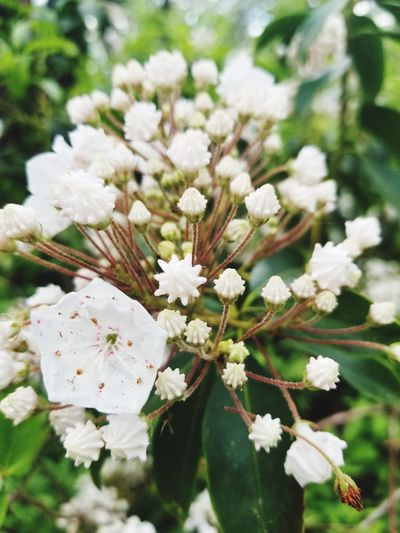 Nature Beatiful Nature Beauty In Nature White Flower White Flowers White Flowers And Buds Leaves Flower Head Flower Tree Springtime Branch Blossom White Color Petal Pastel Colored Botany