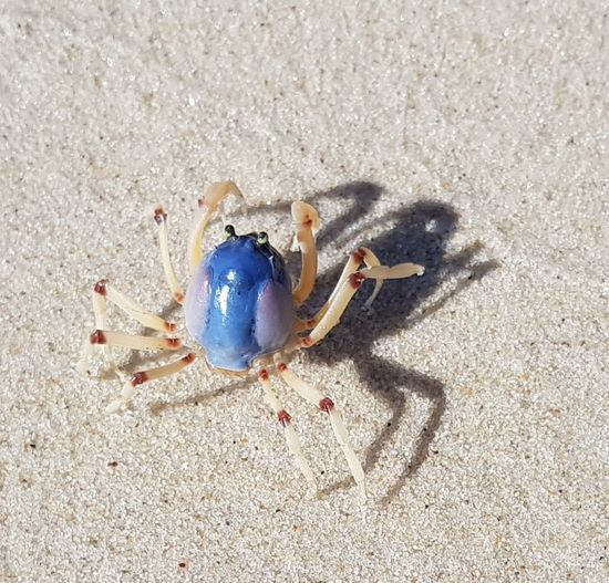 Hundreds of these little crabs running around on the beach on Bribie Island at Bellara...... They are about 3cm across, toe to toe. Crab Beach Sand Shadow High Angle View Sunlight Day Outdoors