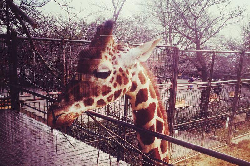 Zoo Giraffe きりん Animals L Love Animals 王子動物園 Ojizoo