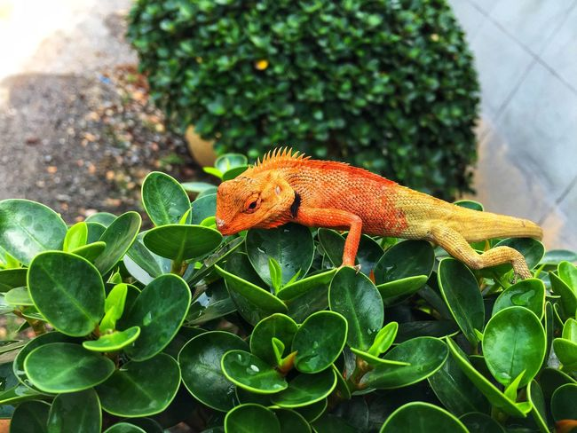Chameleon change color One Animal Animal Themes Animal Animals In The Wild Animal Wildlife Vertebrate Green Color Focus On Foreground Lizard Nature Plant Part Reptile Plant No People Leaf Day Outdoors Close-up Growth Chameleon