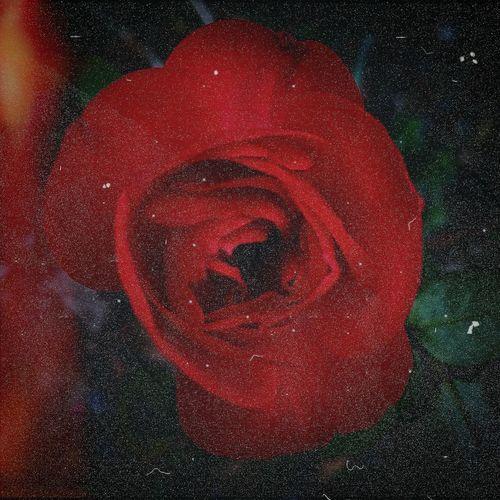 Love Rosé Rose