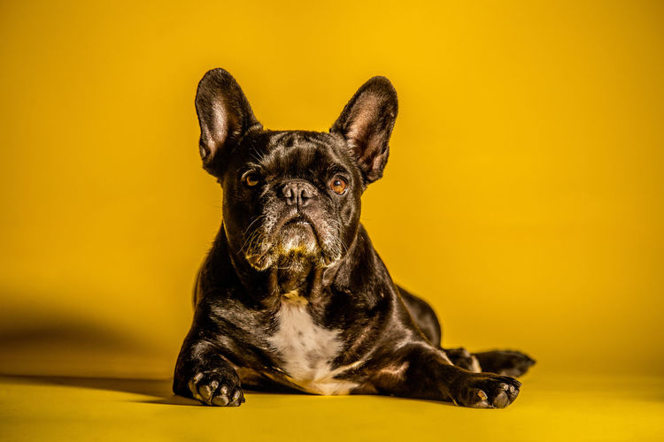 Pug Lying In Front Of Yellow Background
