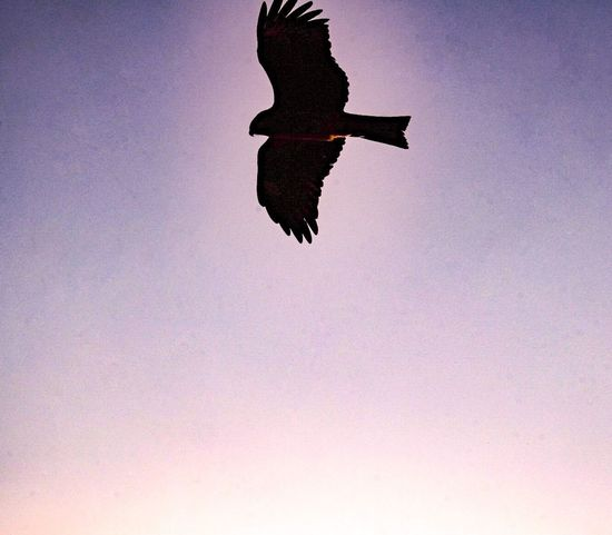 Freedom Flying Bird Low Angle View One Animal Animals In The Wild Spread Wings Animal Themes Mid-air Animal Wildlife Eagle - Bird Eagle Hawks Nature Clear Sky Silhouette Day Bird Of Prey Sunset Sky Beauty In Nature
