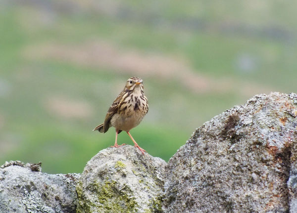 Animal Themes Beauty In Nature Bird Close-up Day Focus On Foreground Linnet Nature No People Outdoors Perching Rock Rock - Object Selective Focus Wildlife