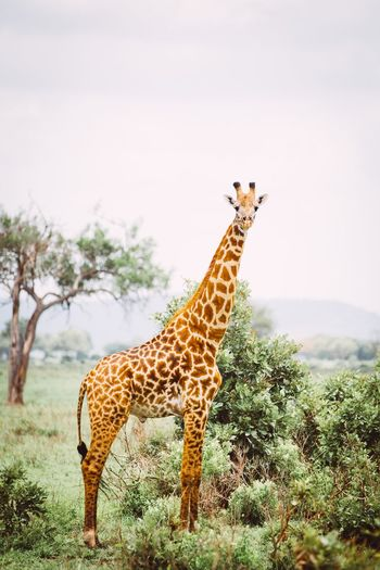 Graceful Animal Animal Themes Animals In The Wild Animal Wildlife Mammal Plant One Animal Giraffe Tree Safari Nature Animal Markings Side View Outdoors No People