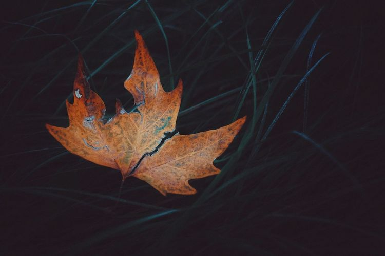 Leaf Autumn Change Dry Nature No People Night Close-up Beauty In Nature Outdoors Maple Leaf Scenics Maple Water Animal Themes Fragility Black Background The Week On EyeEm