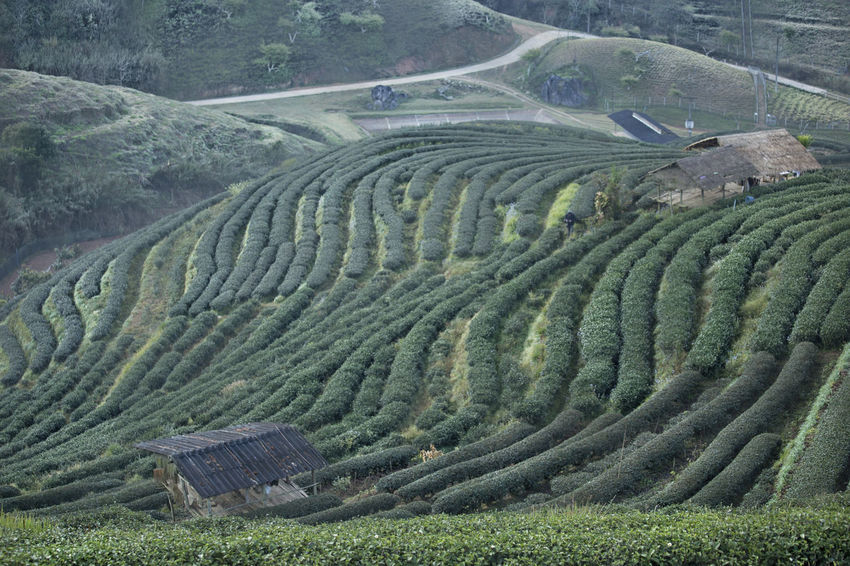 Mountain Tea Plantation Green Step On Mountain Thailand Aisia On The Mountain Tea Plantation  Agriculture Nature Landscape Field Outdoors Scenics Day No People Beauty In Nature Rural Scene Terraced Field Tranquility Mountain Tree Tea Crop