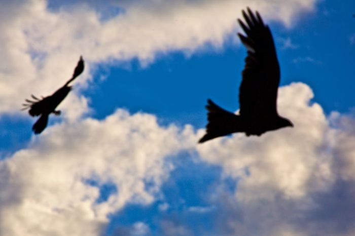 Animal Themes Animal Wildlife Animals In The Wild Bird Cloud - Sky Crow Chasing Off Red Kite Flying Mid-air Red Kite Red Kite In Flight Silhouette Spread Wings