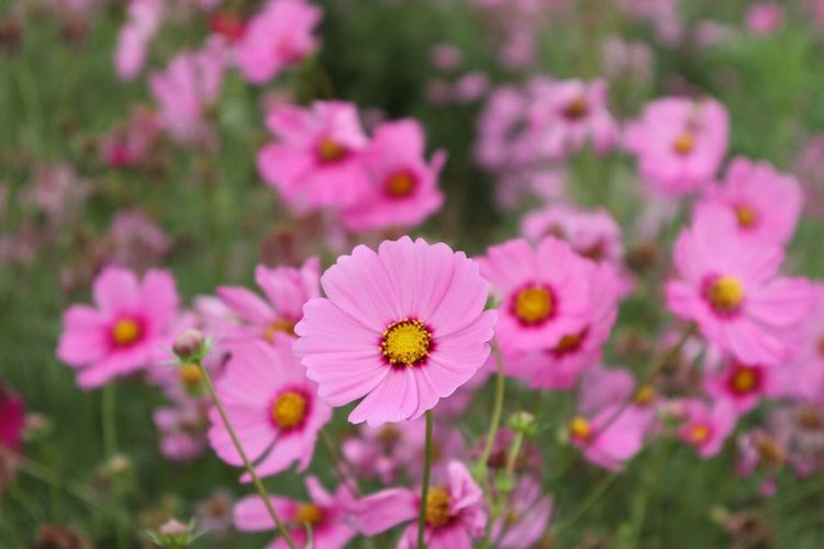 Pink cosmos Cosmos Flower Flowering Plant Flower Fragility Freshness Vulnerability  Plant Petal Flower Head Inflorescence Pink Color Focus On Foreground Beauty In Nature Close-up Day Growth