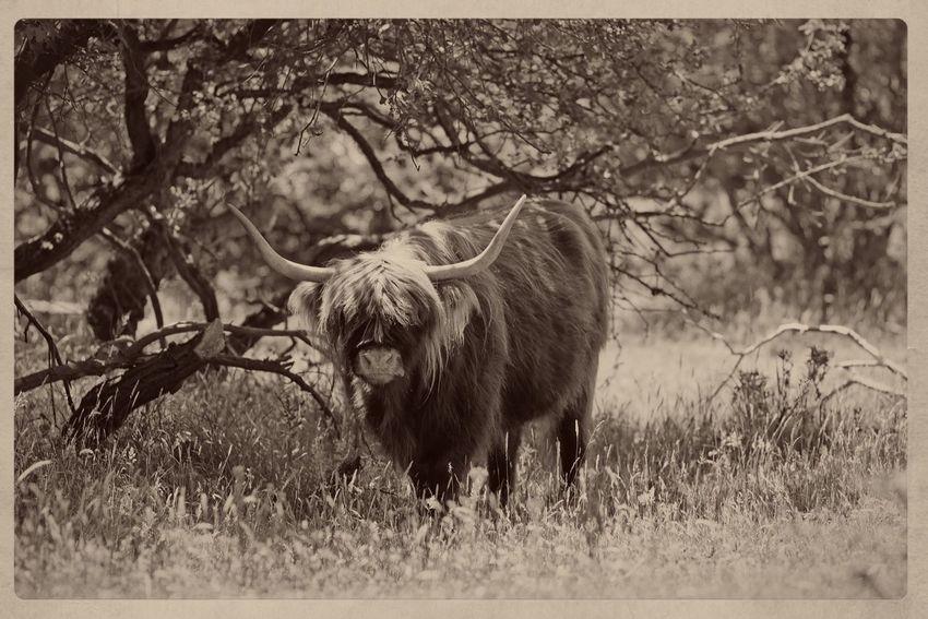 Highland Cattle Monochrome In The Field Dutch Countyside