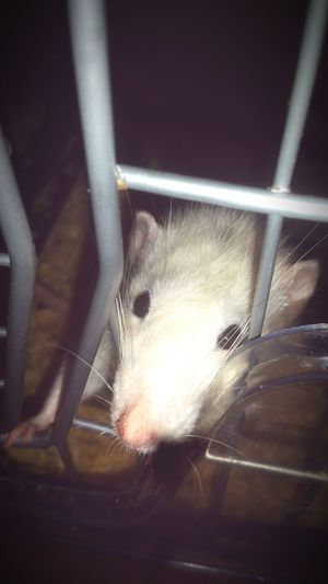 One of my boys, jedd🐀 Rat Love Gorgeous First Eyeem Photo