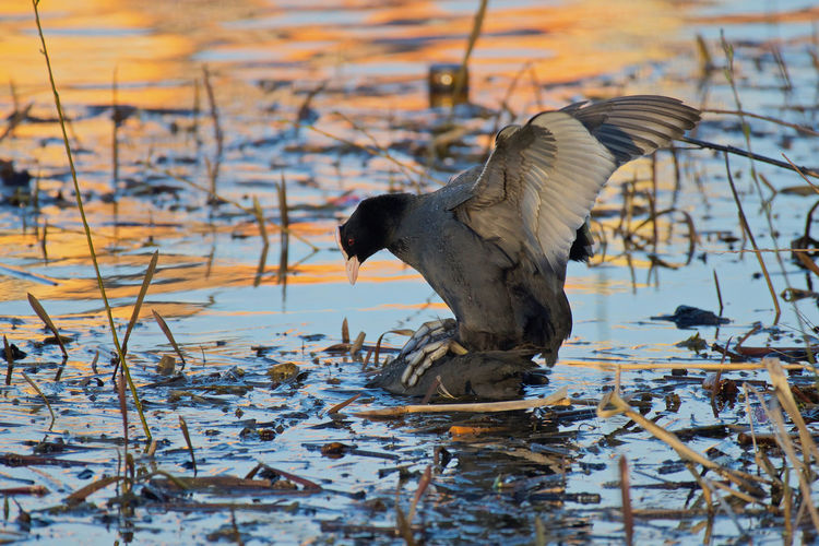 Coot mating Animal Animal Themes Animal Wildlife Animals In The Wild Bird Cold Temperature Day Eaursien Coot Flying Fulica atra Heron Lake Motion Nature No People One Animal Outdoors Spread Wings Vertebrate Water Water Bird