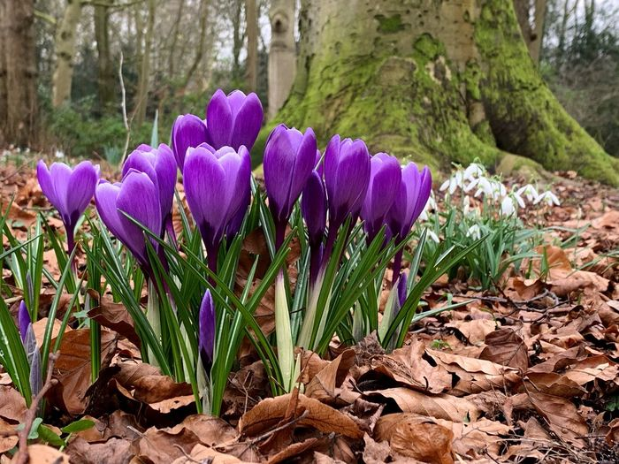 Plant Flowering Plant Flower Purple Vulnerability  Growth Freshness Beauty In Nature Fragility Nature Iris Crocus Petal Land No People Tree Day Close-up Field Inflorescence Flower Head Outdoors Springtime Flowerbed