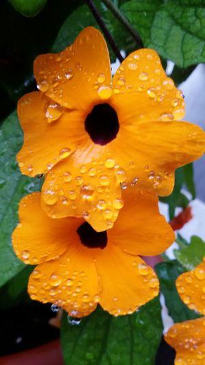 Taking Photos Iphonephotography Colorful Eyemphotography Hello World Kletterpflanze 🍀 Orange Outdoor Rain Drops Hi! EyeEm Nature Lover Hello World Orange Flower Eye4photography  Drops On Flower Macro Schwarzäugige Susanne