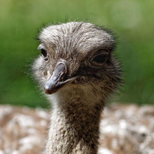 Nandu Ostrich Getting Closer Day At The Zoo