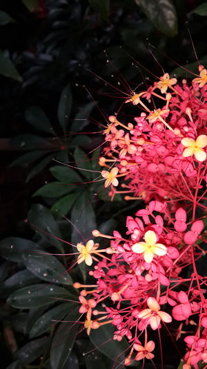 Flower Fragility Leaf Beauty In Nature Freshness No People Red Nature Outdoors Ixora Day Springtime Growth Close-up Plant Flower Head Tree Green Red Flowers Red Ixora EyeEmNewHere