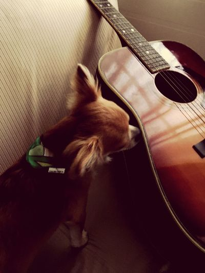 Musical Instrument Music Indoors  Guitar Musical Instrument String No People One Animal Animal Themes Domestic Animals Pets Close-up Day Mammal Good Morning! Niko 2yearsold  Chihuahua Family Make You Coffee