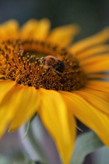 Hummel Flower