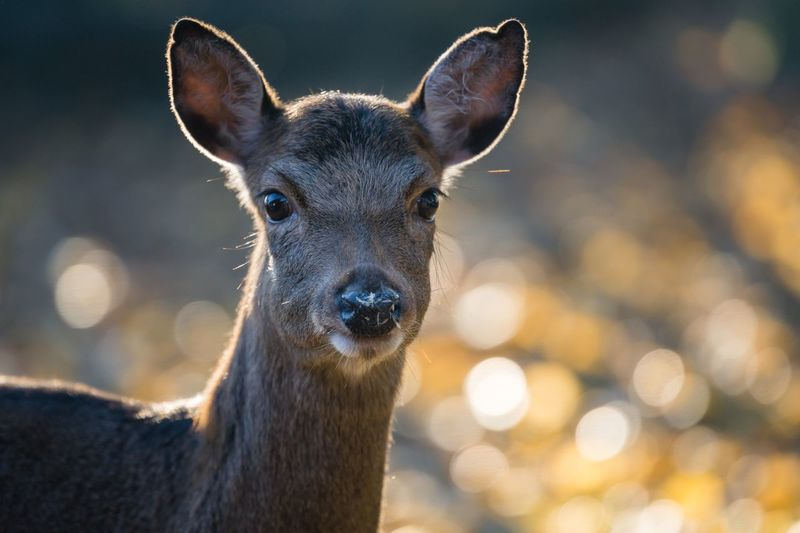 Sika Hirschkuh Schleswig-Holstein Sherleben Sika Deer Deer Hirschkuh SIKA One Animal Mammal Portrait No People Looking At Camera Close-up Animal Body Part Animal Wildlife Focus On Foreground Animals In The Wild Sunlight Nature