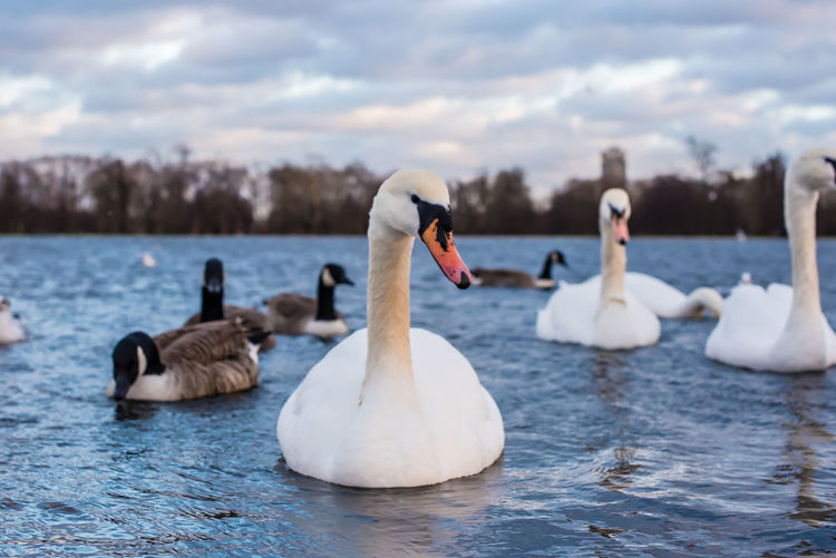 Swans in Winter London Swans Animal Animal Themes Animal Wildlife Animals In The Wild Beauty In Nature Bird Cloud - Sky Group Of Animals Lake Nature No People Outdoors Sky Swan Swimming Vertebrate Water Water Bird Waterfront White Color