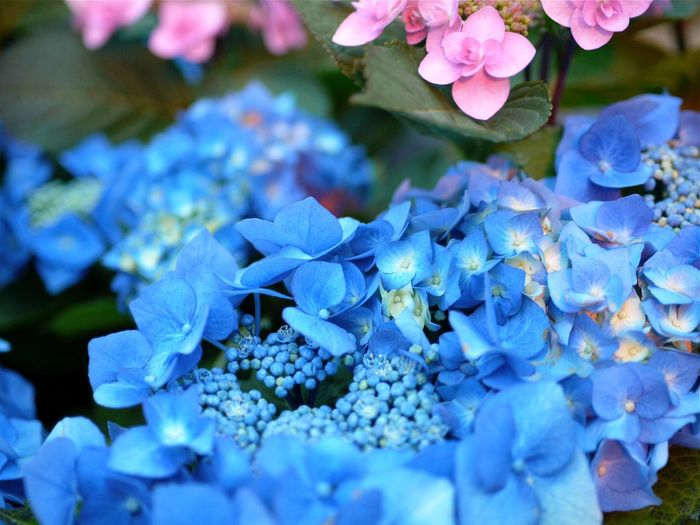 Ajisai Hydrangea Flower Beautiful Nature Rule Of Thirds Nagasaki City Of Flower The Purist (no Edit, No Filter) / LUMIX L10K LEICA D SUMMILUX 25mm de Good Morning EyeEm_crew