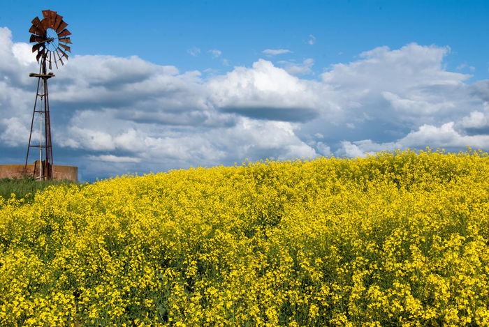Windmill Agriculture Beauty In Nature Canola Flowers Cloud - Sky Day Environment Field Flower Flowering Plant Freshness Fuel And Power Generation Growth Land Landscape Nature No People Oilseed Rape Outdoors Plant Rural Scene Scenics - Nature Sky Springtime Yellow A New Beginning