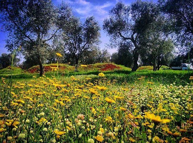Salento Ortelle Nature Natura Campagna Olivo Olive Campagna Puglia Italia Italy Flower Flowers Fiore Fiori Cielo Sky Primavera Spring