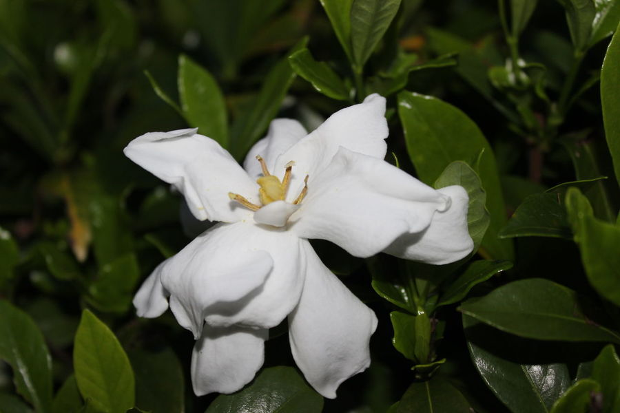 Magnolia Blossoms Beauty In Nature Blooming Close-up Dark Green Leaves Day Flower Flower Head Fragility Frangipani Freshness Green Color Growth Leaf Nature No People Outdoors Periwinkle Petal Plant Small White Flower White Color White Flower