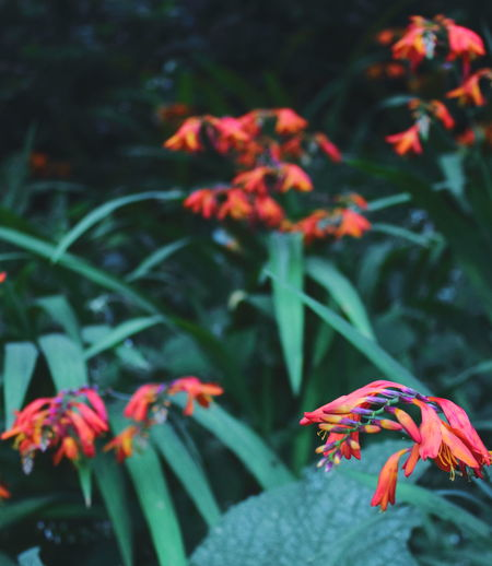 Close-up of red flowers on plant