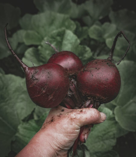 Close-Up Of Hand Holding Common Beetroots At Vegetable Garden