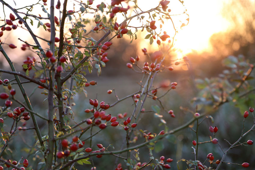 Romantic Rose Hip Beauty In Nature Branch Close-up Day Flower Focus On Foreground Freshness Fruit Growth Hip Rose Nature No People Outdoors Plant Red Rose Hips Sunset Tree