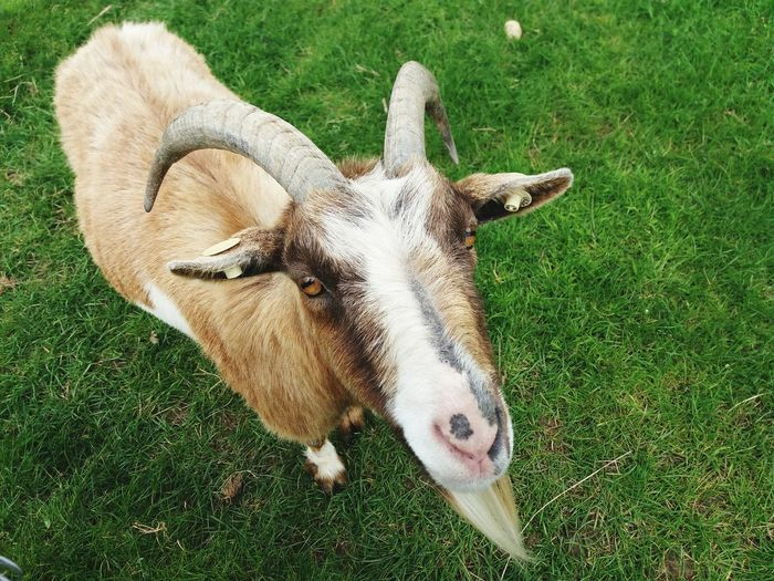 Meet Mr Billy Goat One Animal Grass Animal Themes Mammal Field High Angle View Outdoors Nature Close-up No People EyeEm Gallery EyeEm Best Shots Goat Farm Life Farm Animals Spring