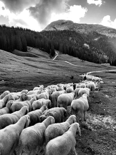 Sheep Walking On Field Against Mountains