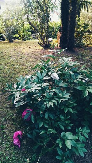 Peony bush Foliage Plant Peony  Plants And Flowers Gardens Nature_collection Nature Photography Springtime