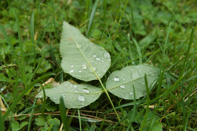 Leaves🌿 Raindrops Beauty In Nature Close-up Day Drop Fragility Freshness Grass Green Color Growth Leaf Leaves Leaves_collection Nature No People Outdoors Purity RainDrop Raindropsonleaves Water Wet