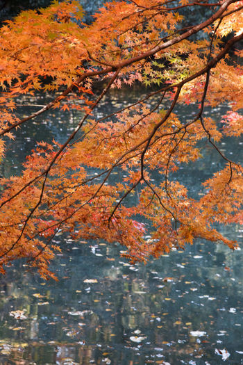 Autumn Tree Change Plant Beauty In Nature Nature Water No People Orange Color Leaf Branch Day Plant Part Lake Reflection Outdoors Growth Tranquility Low Angle View Maple Leaf Autumn Collection Natural Condition