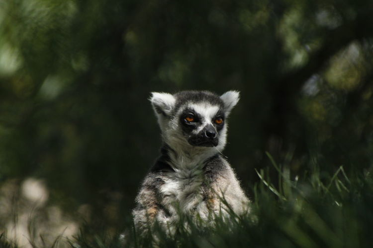 Lemur on grassy field against trees