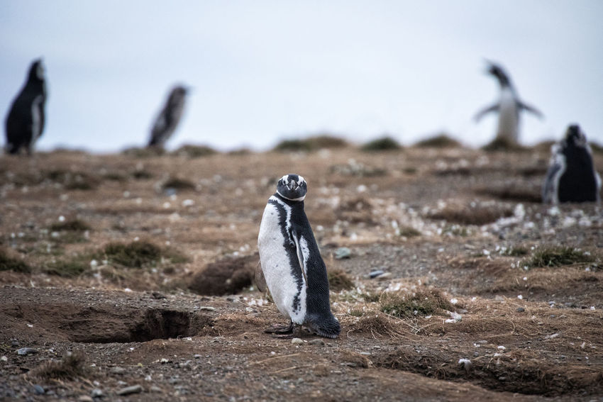 Animal Animal Themes Animal Wildlife Animals In The Wild Bird Day Environment Focus On Foreground Group Of Animals Land Nature No People Outdoors Penguin Rock Rock - Object Selective Focus Sky Solid Vertebrate