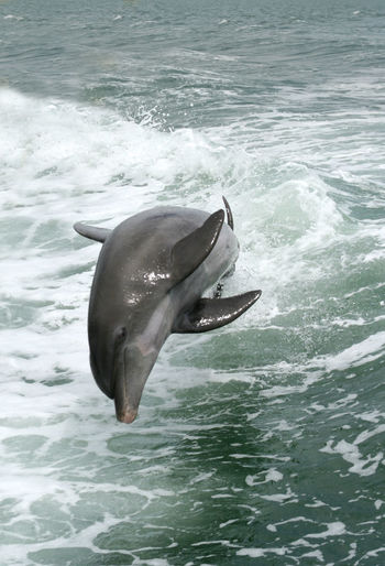 Aquatic Mammal Day Dolphins Gulf Of Mexico Nature No People Ocean View Saint Petersburg Florida Water