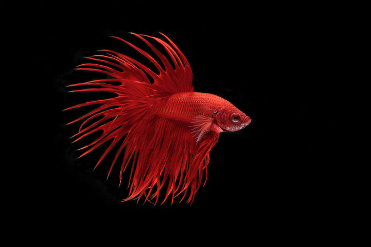 Close-up of red fish against black background