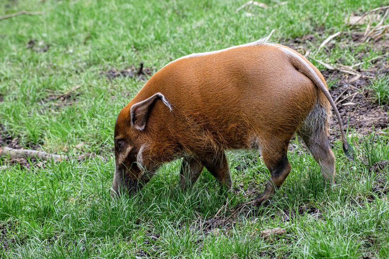 Africa African Animal Boar Brown Bush Bush Pig Cute Ear Eat Eye Foraging Furry Hair Hairy  HOG Mammal Napping Natural Nature Orange Pig Piglet Pigsty Porcus Pork Potamochoerus Red River Small Snout Species Swine Wild Wildlife Zoo