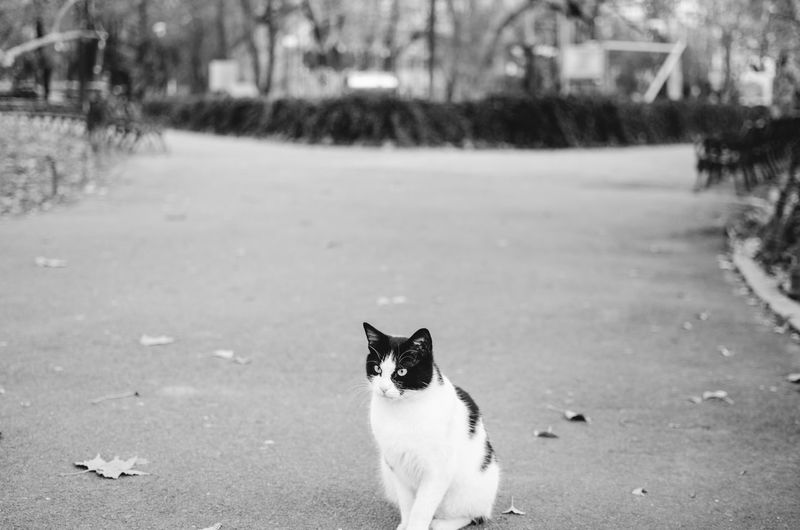 A friendly stray cat I met in the park. Animal Themes Black And White Cat Day Domestic Animals Front View Looking At Camera Mammal Nature No People One Animal Outdoors Pets Portrait Stray Cat