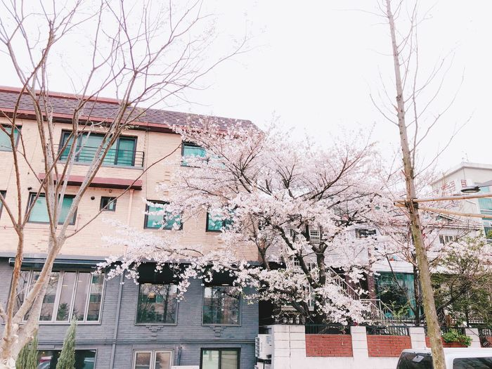 The cherry blossoms are in full bloom Built Structure Architecture Building Exterior Day Plant No People Wall - Building Feature Building Tree Outdoors Graffiti Branch Wall Residential District Nature City Full Frame Growth Sky Clear Sky