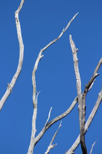 Regeneration Contrast Native Tree Native Sunny Lake Macquarie Australia GumTree Gum Bare Tree Bare Blue Sky Low Angle View Blue Branch Day Outdoors Nature Clear Sky
