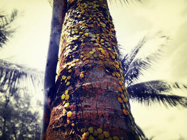 Nature Tree Pyrrosia Piloselloides