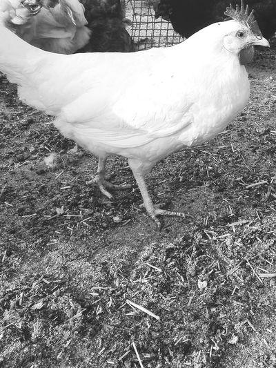 Chiken Taking