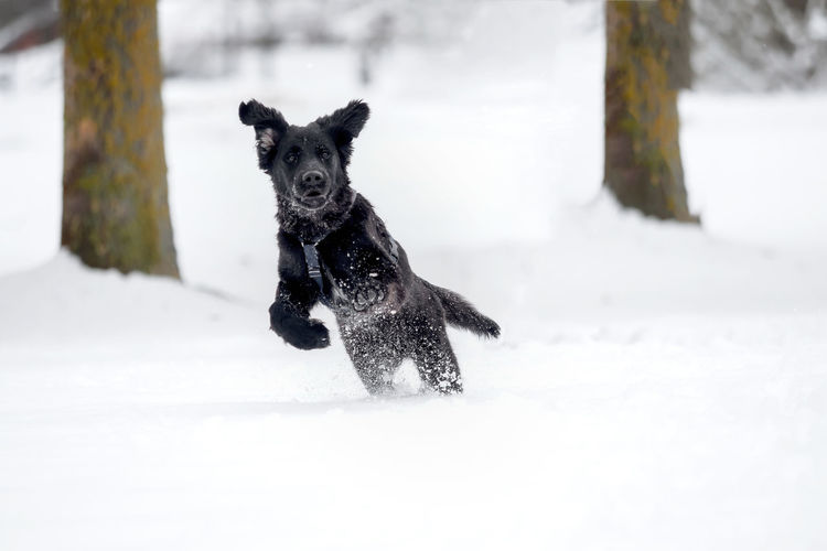 A black puppy is playing in the snow Animal Black Breed Cold Cute Dog Domestic Friend Fur Happy Ice Mammal Nature Obedient Dog Outdoor Outside Pet Playful Puppy Purebred Season  Snow White Winter Canine Pets Domestic Animals Vertebrate Cold Temperature Animal Themes One Animal Running Land Field Day Covering No People Snowing Powder Snow