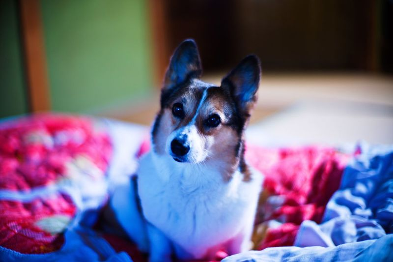 Portrait of dog relaxing on bed at home